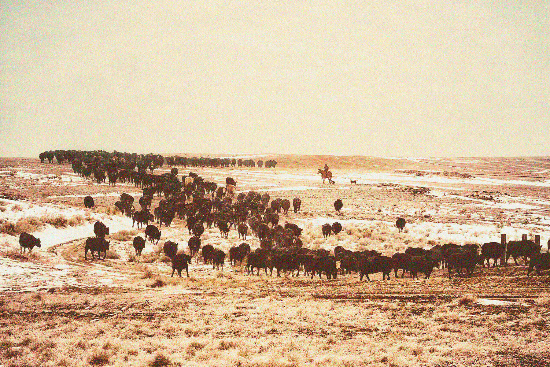 Ranchers herding cattle 1846
